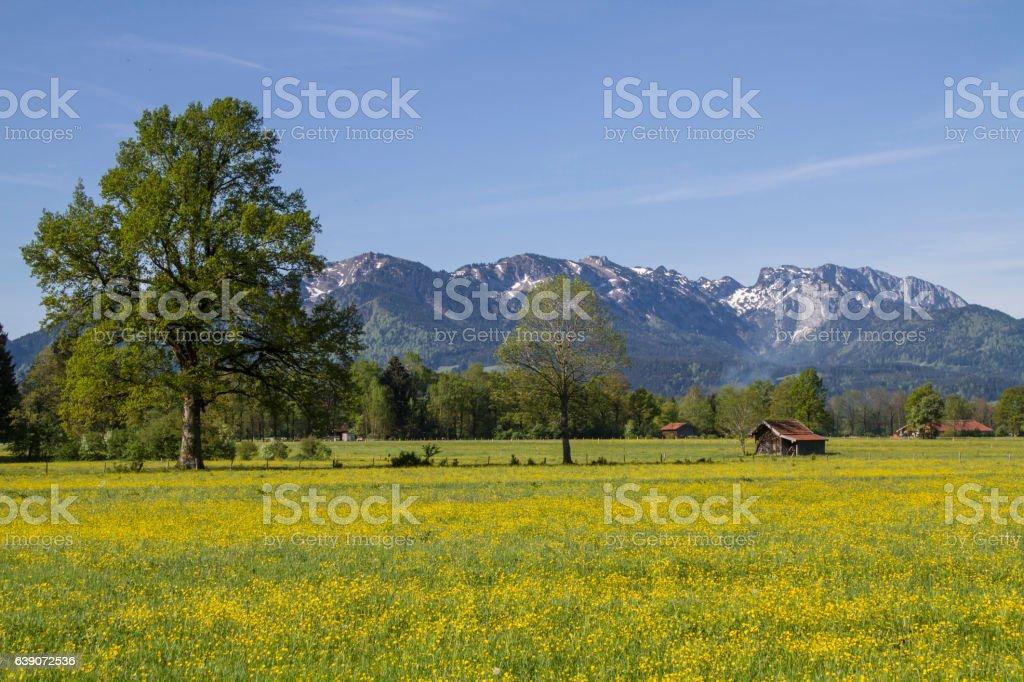 flower meadow in Isarwinkel stock photo