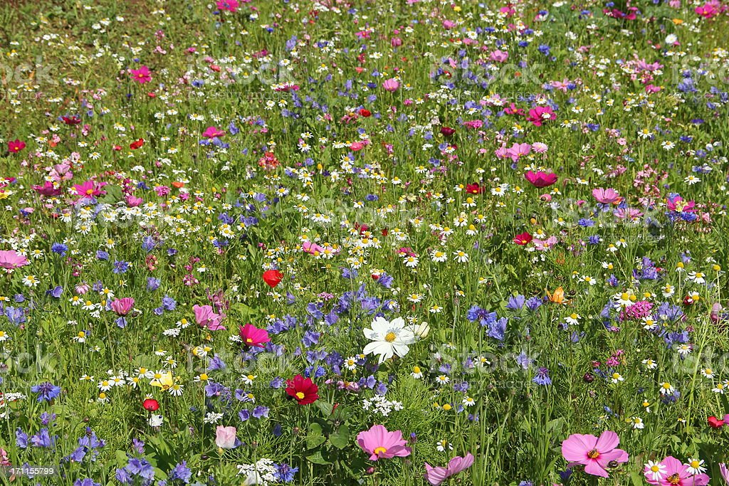 Flower meadow royalty-free stock photo