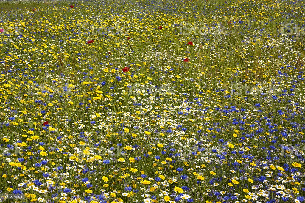 Flower meadow with poppy, cornflower, and daisy royalty-free stock photo