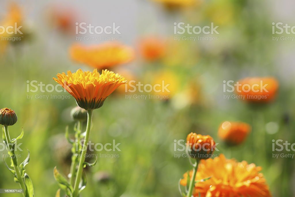 flower meadow with pot marigold Calendula officinalis royalty-free stock photo