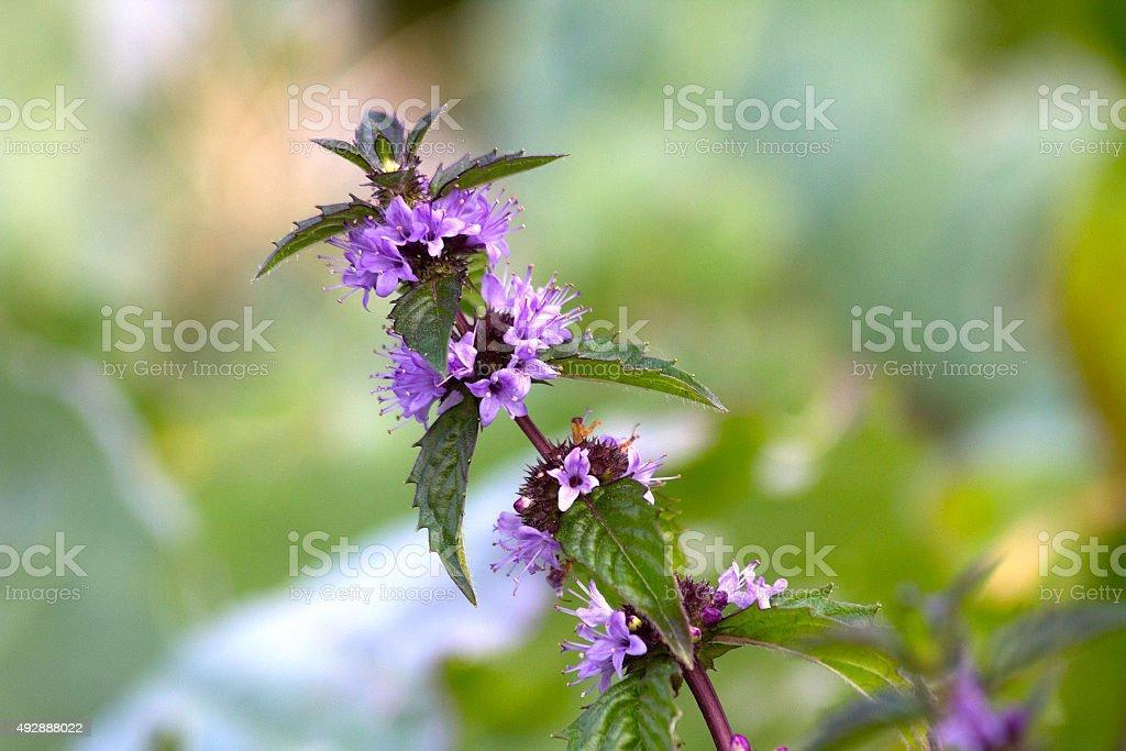 Flower mint stock photo