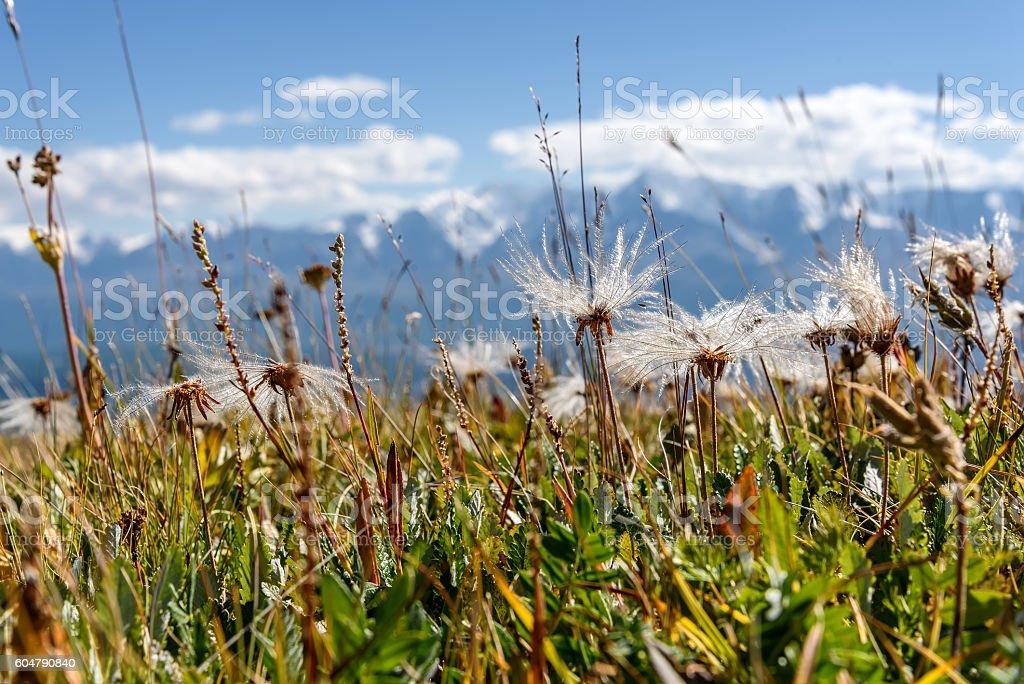 flower mountain white fluffy stock photo
