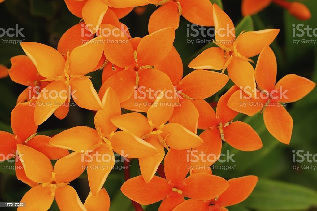 Flower needle royalty-free stock photo