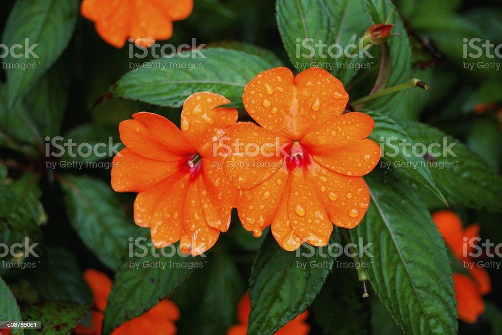 Flower - New Guinea Impatiens stock photo