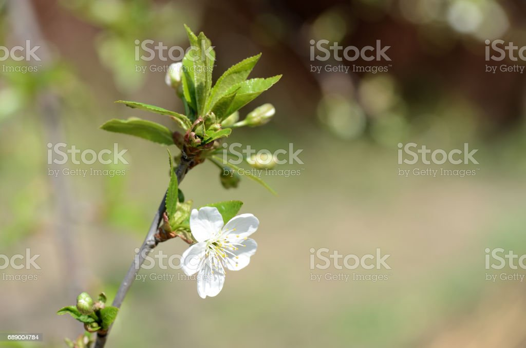 Flower of a blossoming cherry tree close-up stock photo