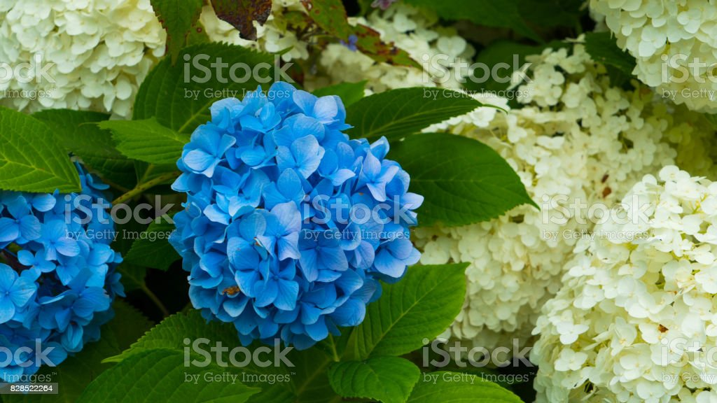 A flower of a blue hydrangea close-up against a background of white flowers. stock photo