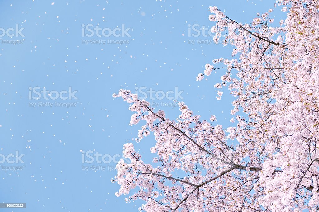 Flower of a cherry tree and the blue sky stock photo