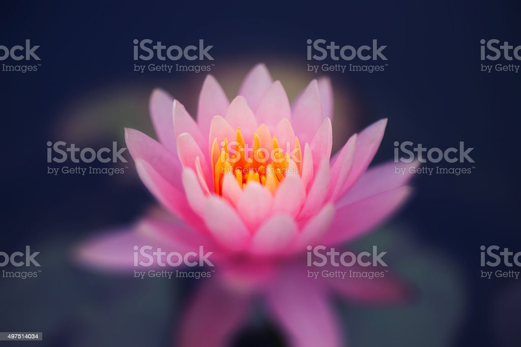 Flower of a lotus stock photo