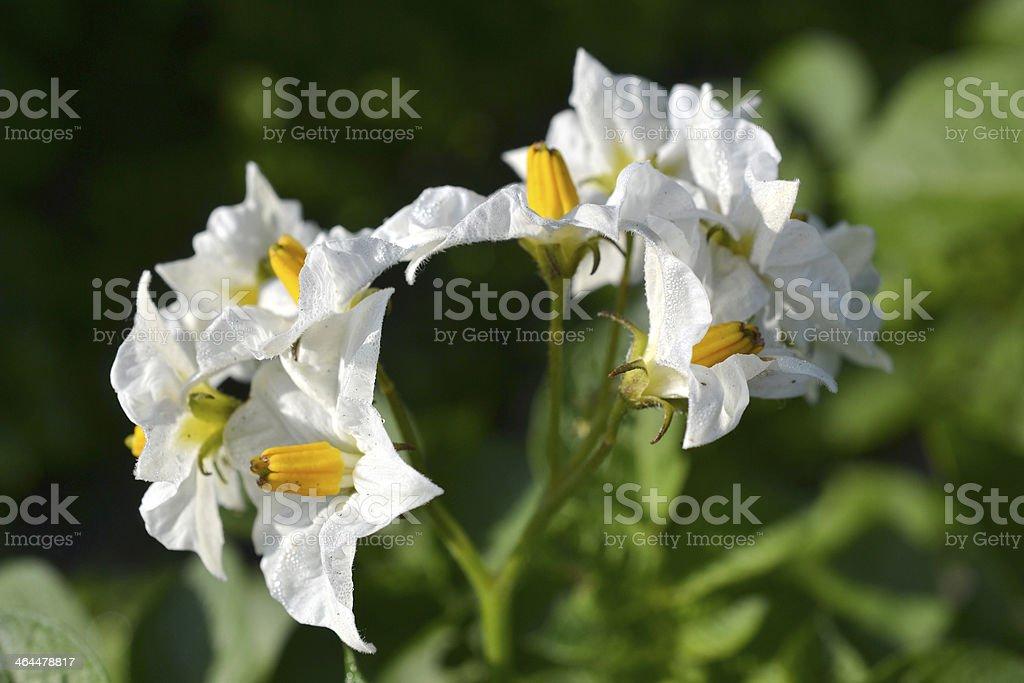 花のレースには、ジャガイモラ植物園です。 ロイヤリティフリーストックフォト