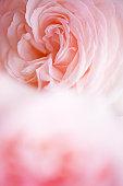 Flower of a rose