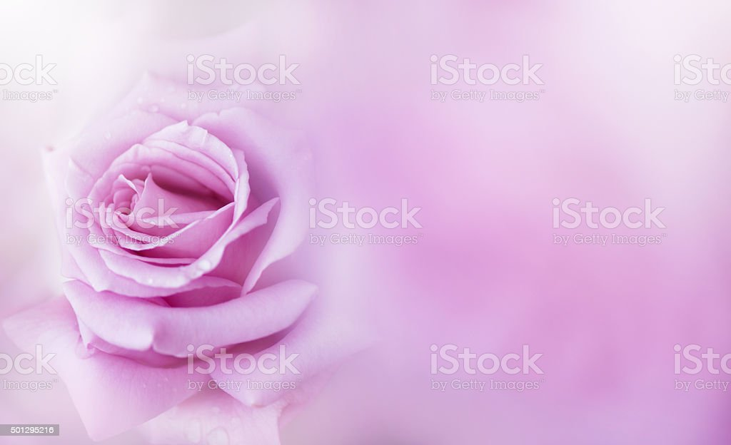 Flower of a rose stock photo