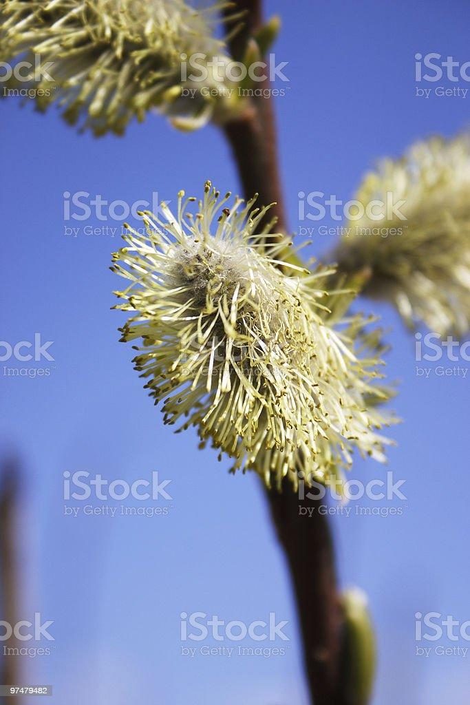 Kwiat w willow przeciw błękitne niebo zbiór zdjęć royalty-free