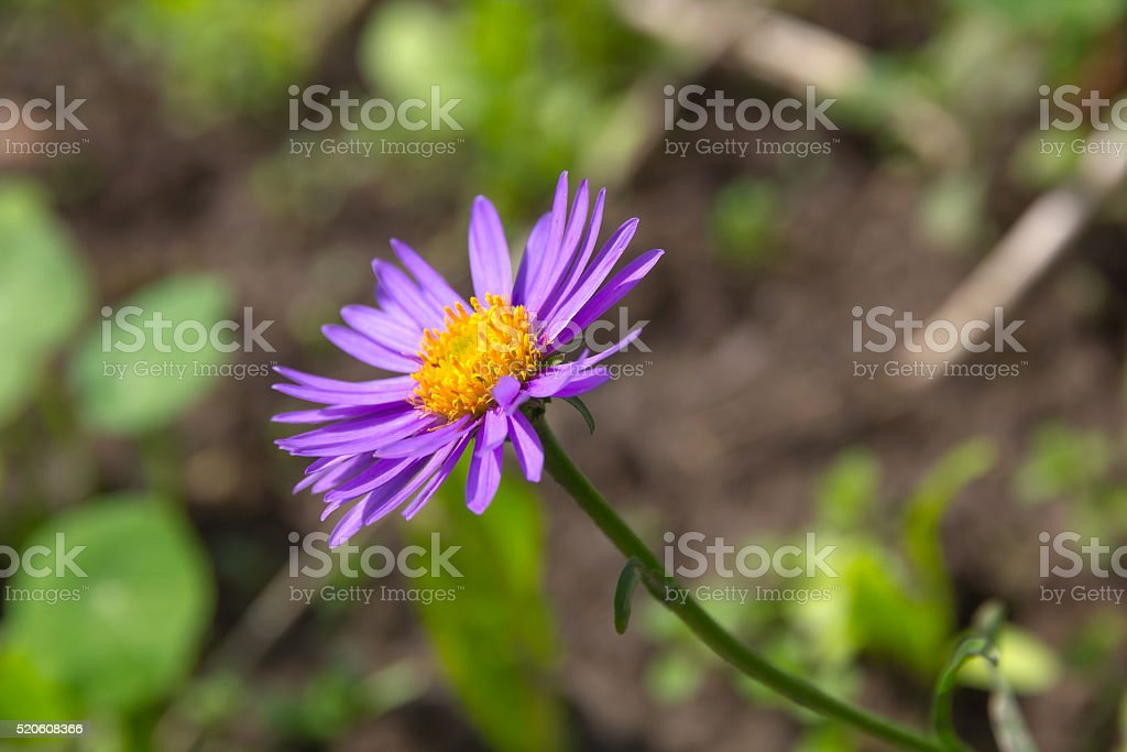 Flower of Alpine aster (Aster alpinus) stock photo