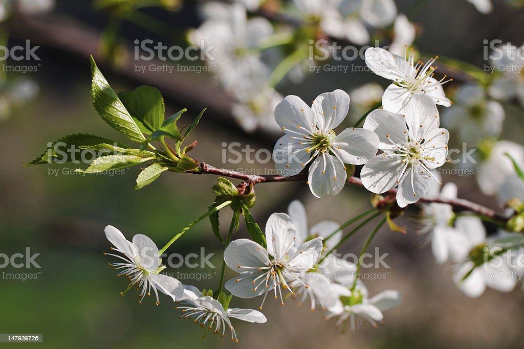 Flower of apple tree. royalty-free stock photo