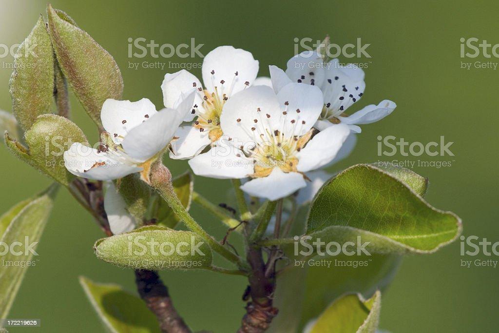 Flower of apple tree royalty-free stock photo