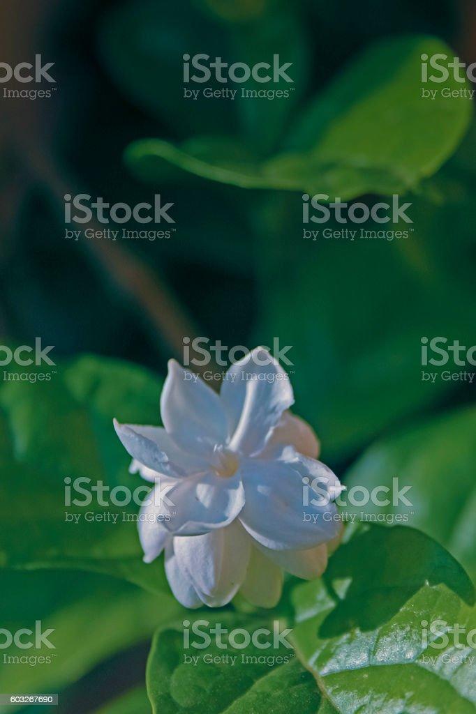 Flower of Arabian Jasmine, Maid of Orleans, Jasminum sambac var. stock photo
