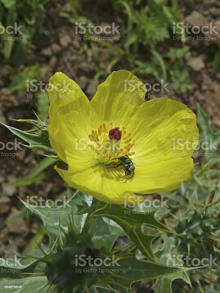Flower of Argemone mexicana L., Papaveraceae stock photo