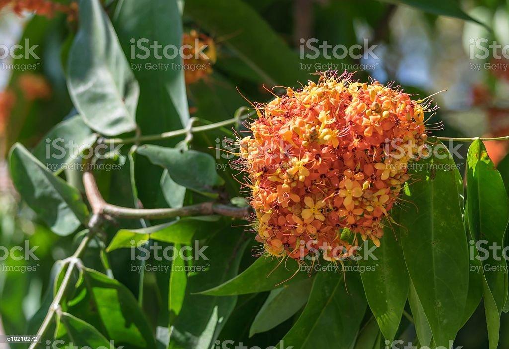 Flower of Asoka tree stock photo