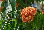 Flower of Asoka tree