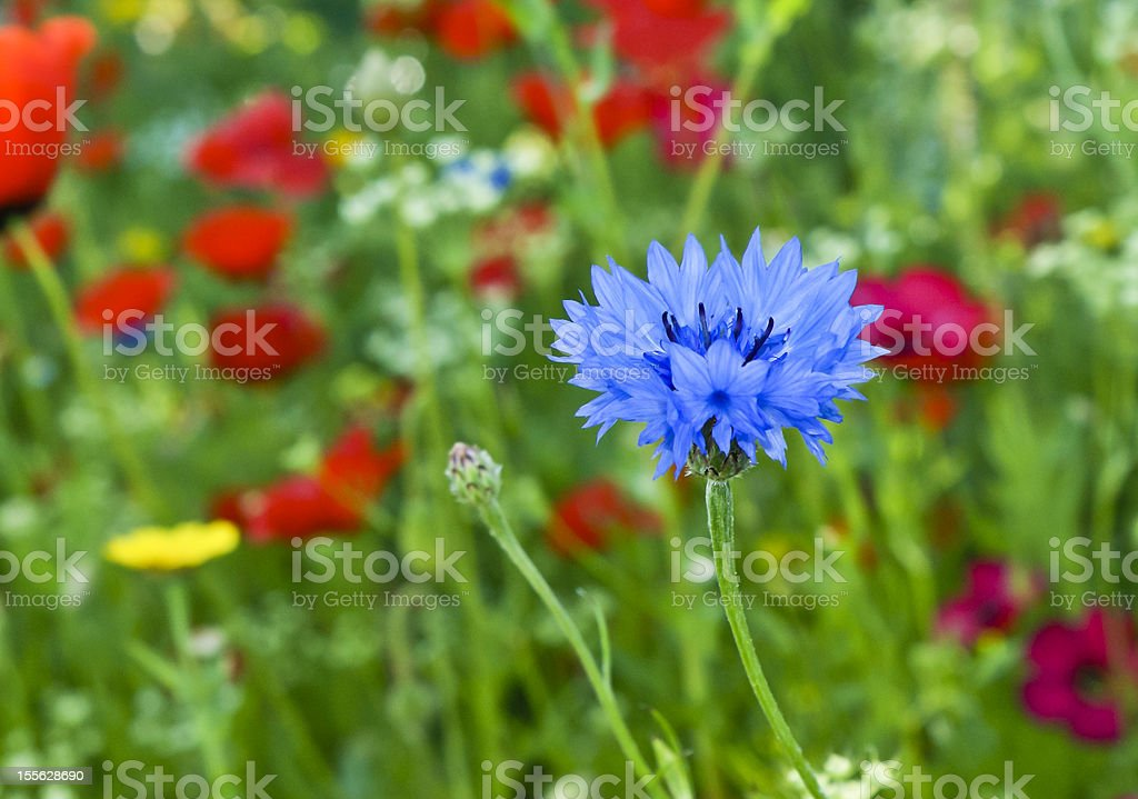 flower of blue love-in-a-mist or nigella damascena stock photo
