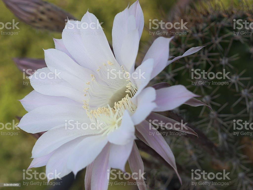 flower of cactus stock photo