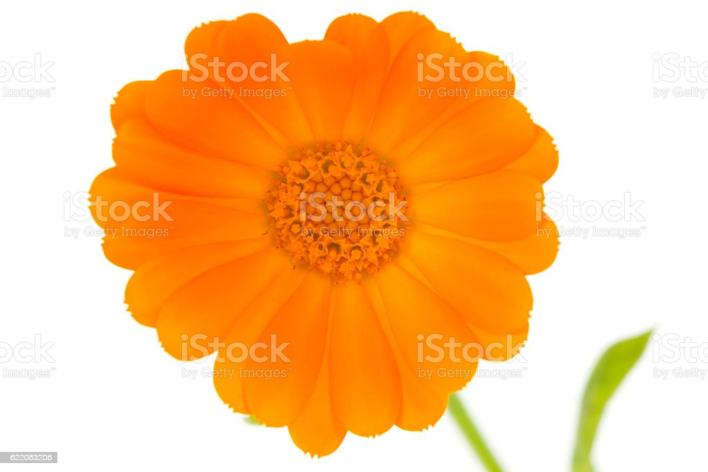 Flower of calendula stock photo