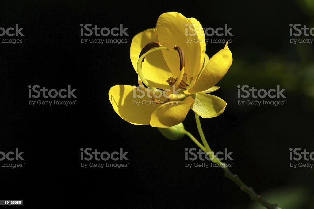 Flower of Cassia bicapsularis stock photo