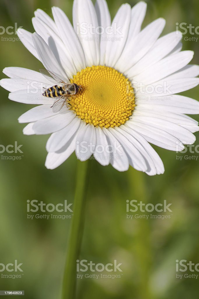 Flower of Chamomile with a bee royalty-free stock photo