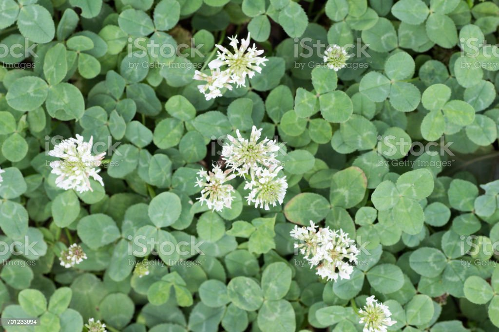 Flower of clover stock photo
