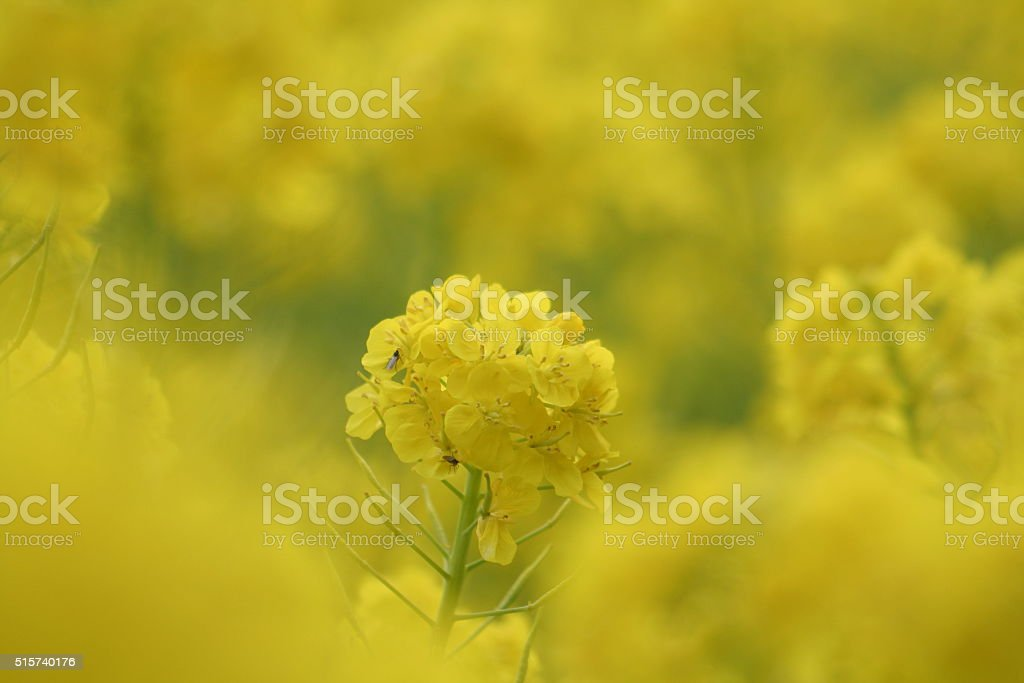 Flower of cole Part 3 stock photo