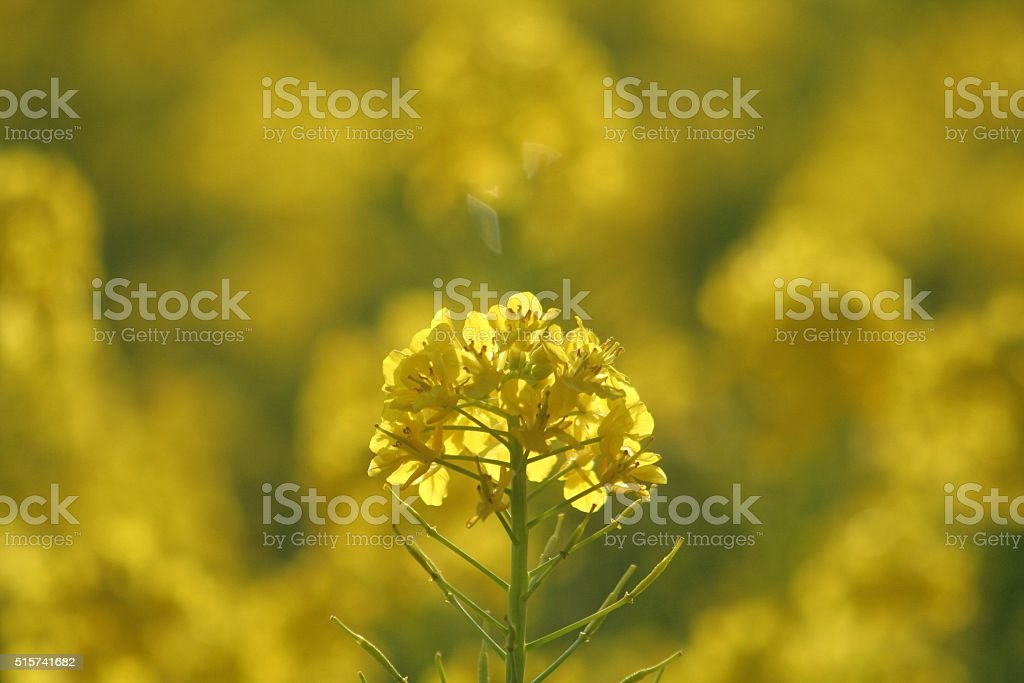 Flower of cole Part 4 stock photo