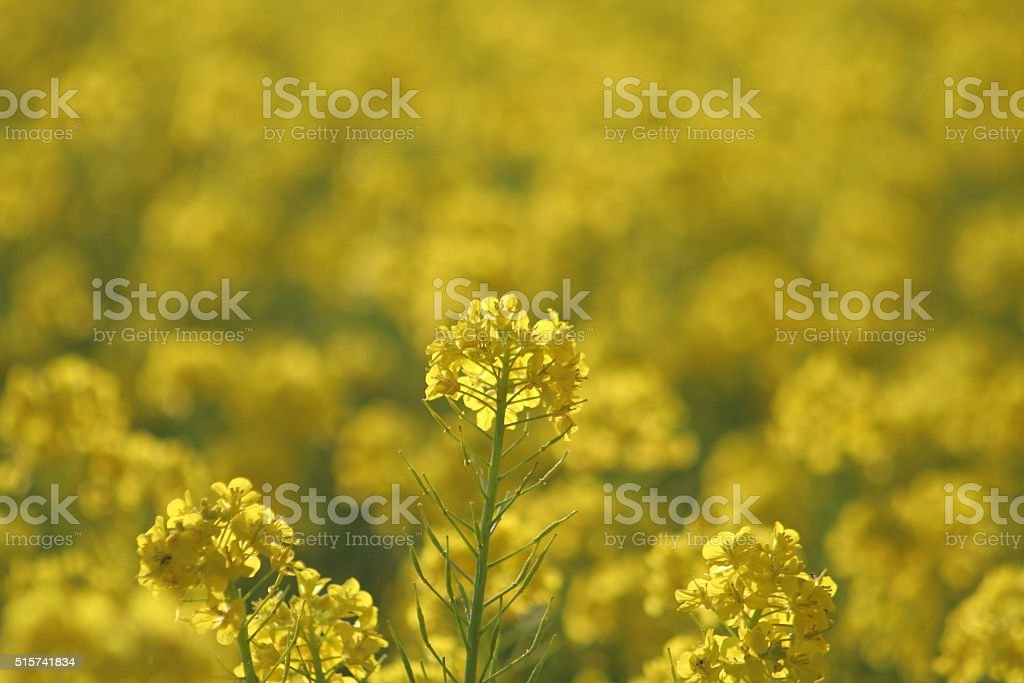 Flower of cole Part 5 stock photo