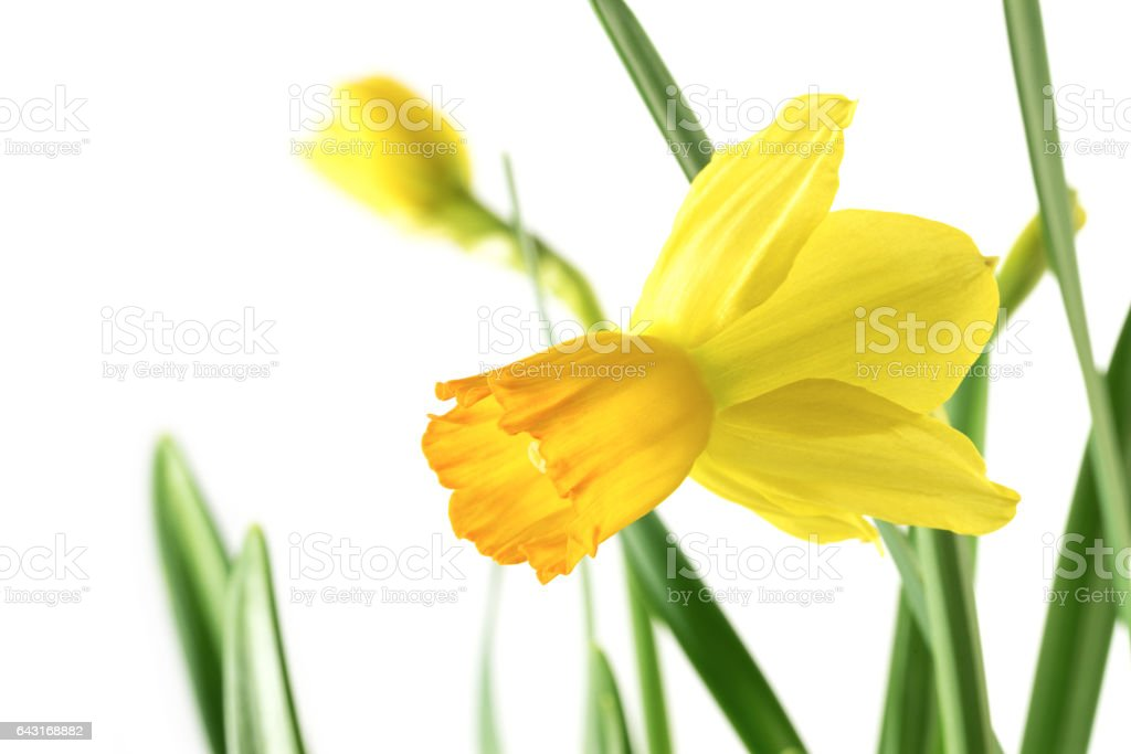 Flower of daffodil (Narcissus pseudonarcissus) with leaves isolated on white stock photo