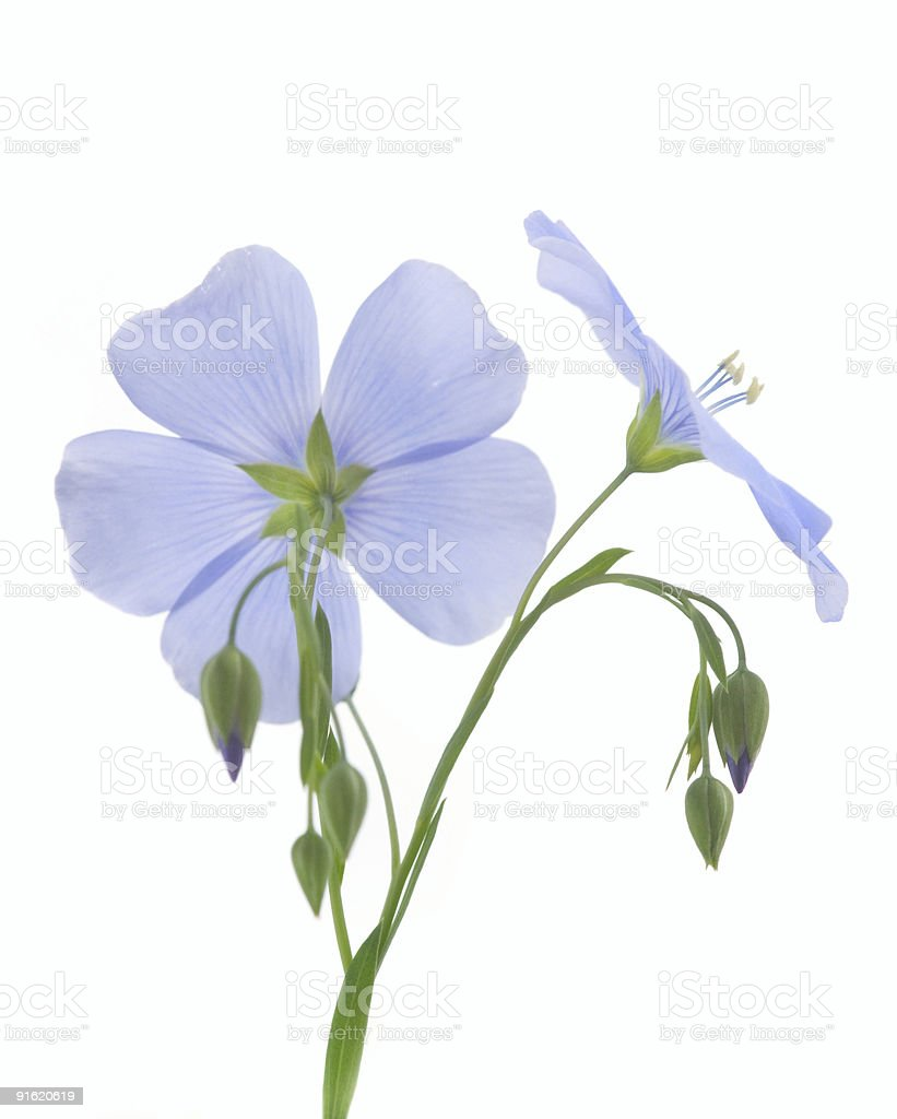 Flower of flax stock photo