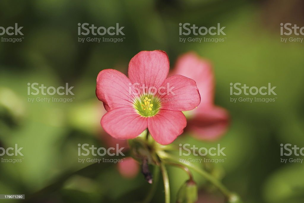Flower of Four Leaved Clover royalty-free stock photo