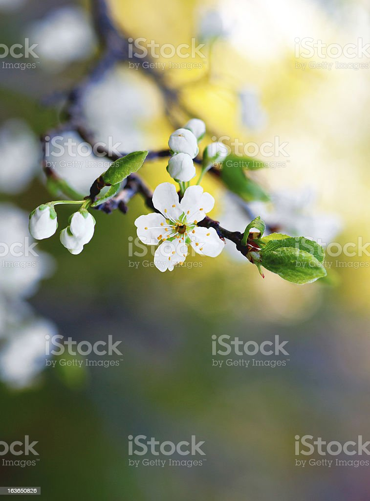 flower of fruit tree royalty-free stock photo