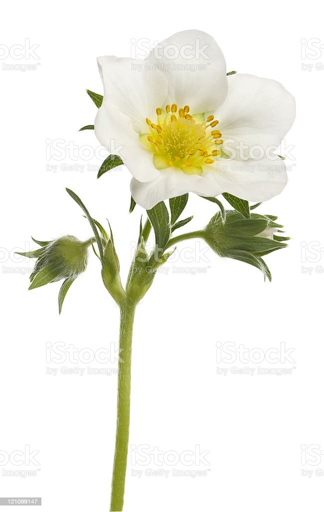 Flower of garden strawberry, white background. royalty-free stock photo