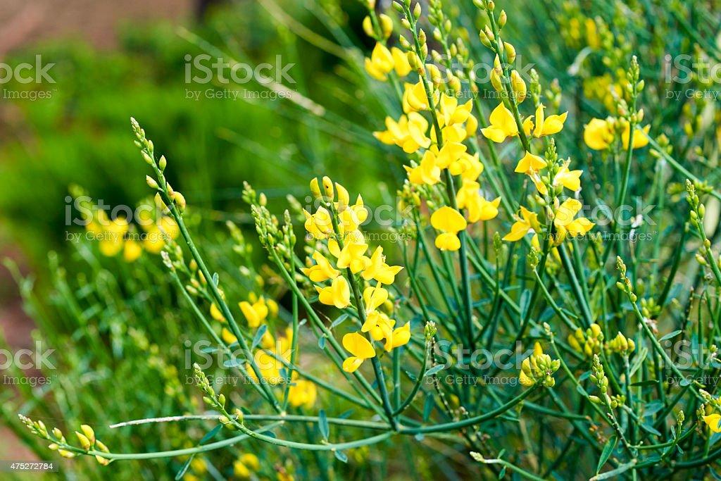 flower of ginestra stock photo