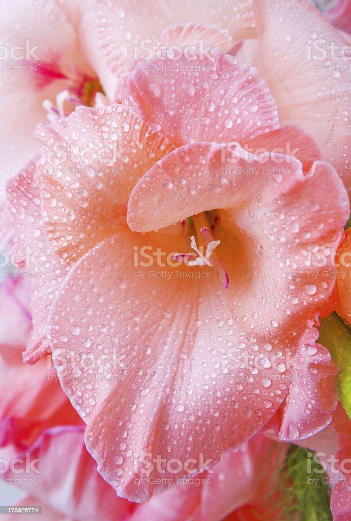 flower of gladiolus royalty-free stock photo
