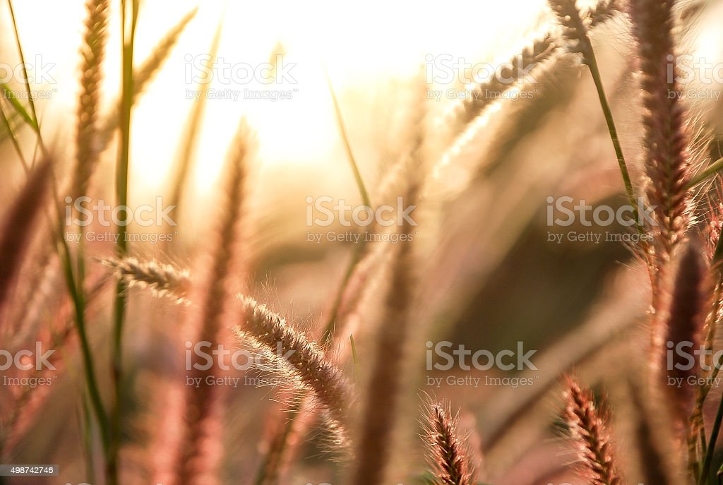 Flower of grass in sunset time stock photo