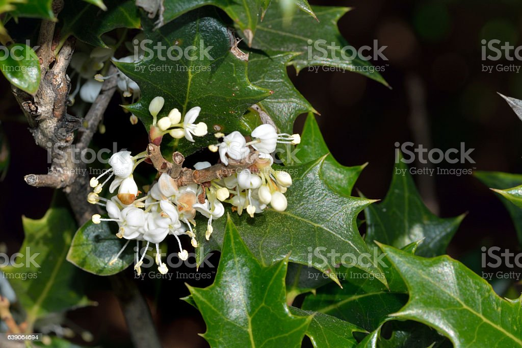 Flower of holly olive-Osmanthus heterophyllus stock photo