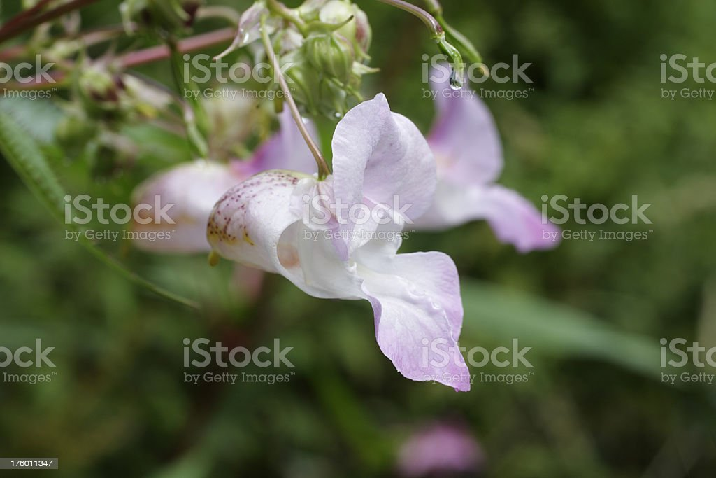 Pale flower of Indian balsam Impatiens glandulifera close up royalty-free stock photo