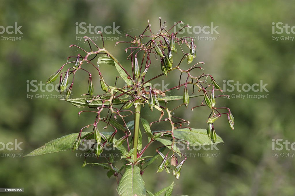 Green seed pods of Indian balsam Impatiens glandulifera stock photo