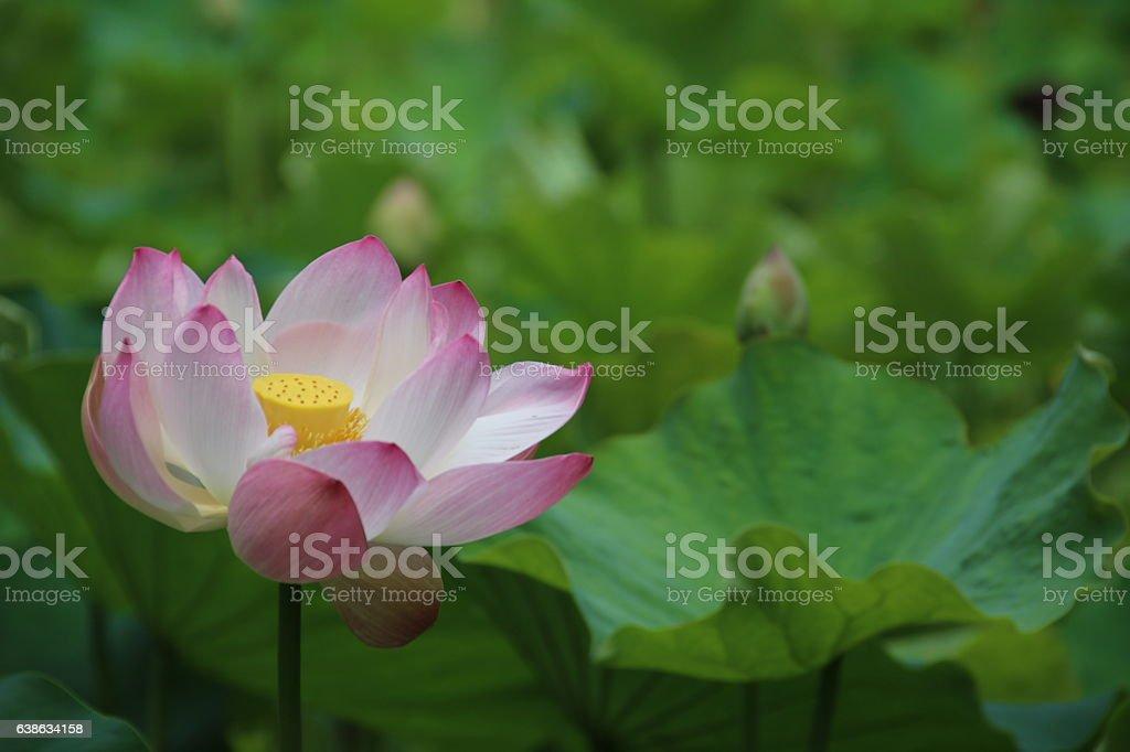 Flower of Indian Lotus, Nelumbo nucifera, Mauritius, Indian Ocean stock photo