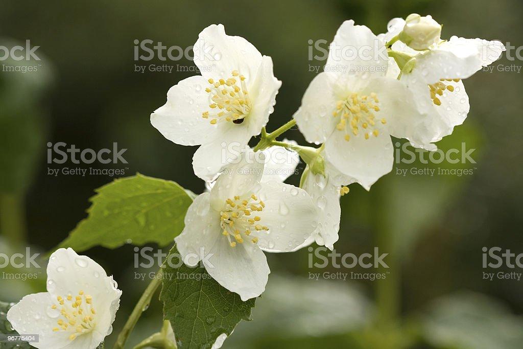 Flower of jasmine royalty-free stock photo
