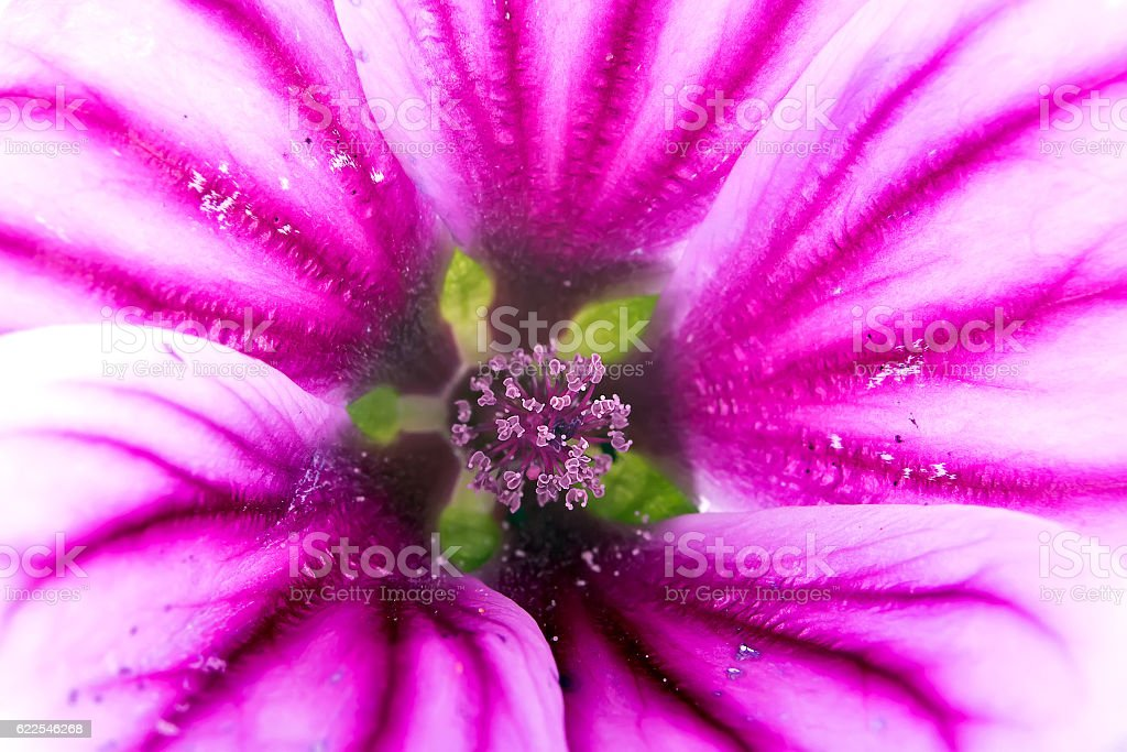 Flower of Lavatera stock photo