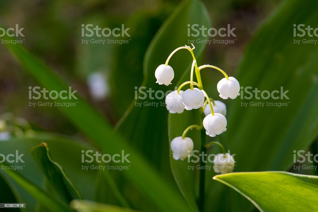 Flower of lily of the valley in natural light stock photo