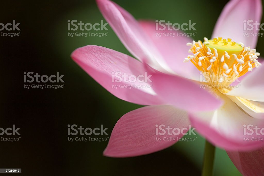 Flower of Lotus opened royalty-free stock photo