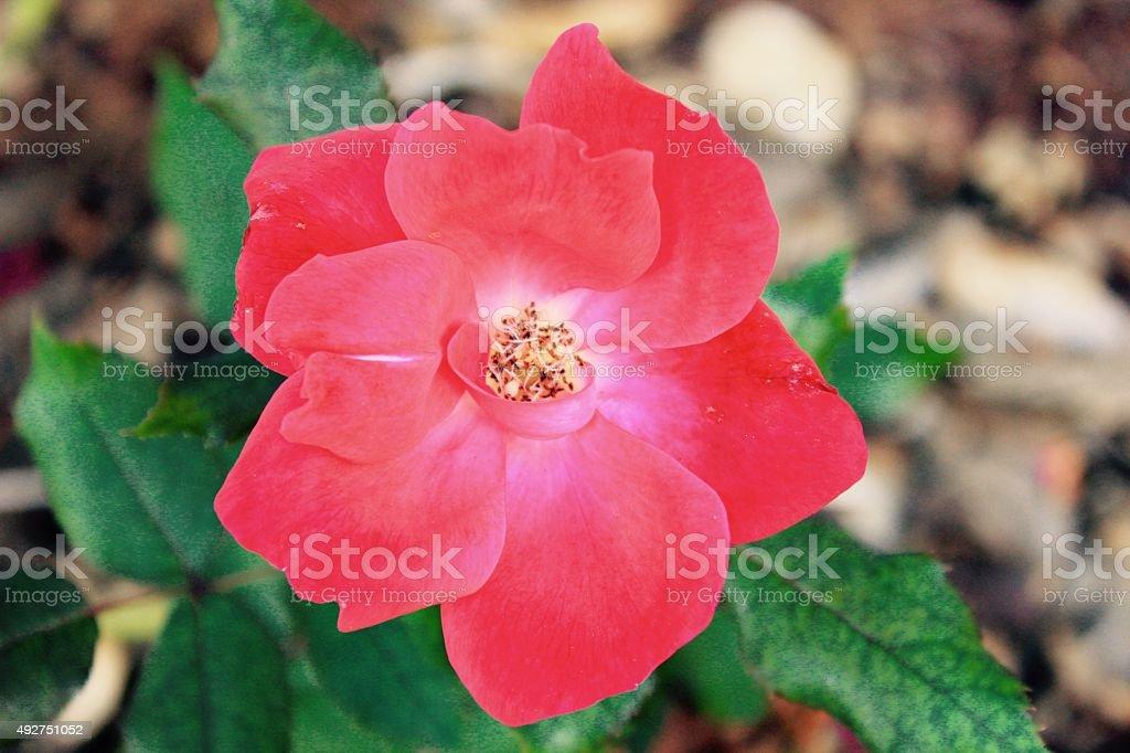 Flower of Love stock photo