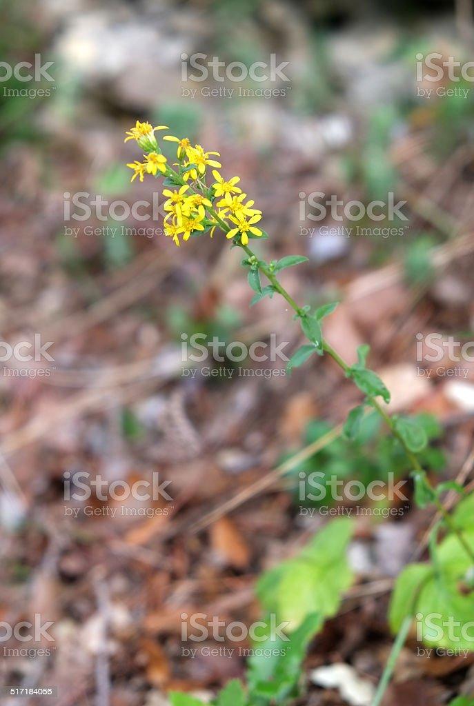 Flower of Luberon - Solidago virgaurea stock photo